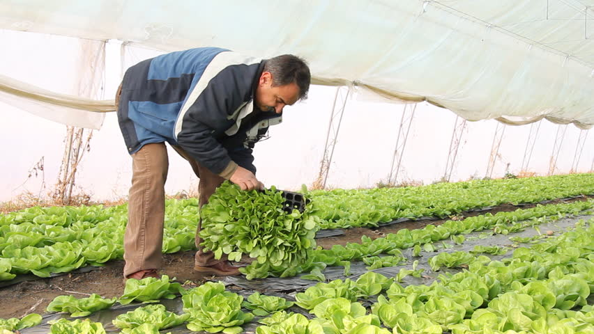 Farmer working in a greenhouse, planting salad | Shutterstock HD Video #1666261