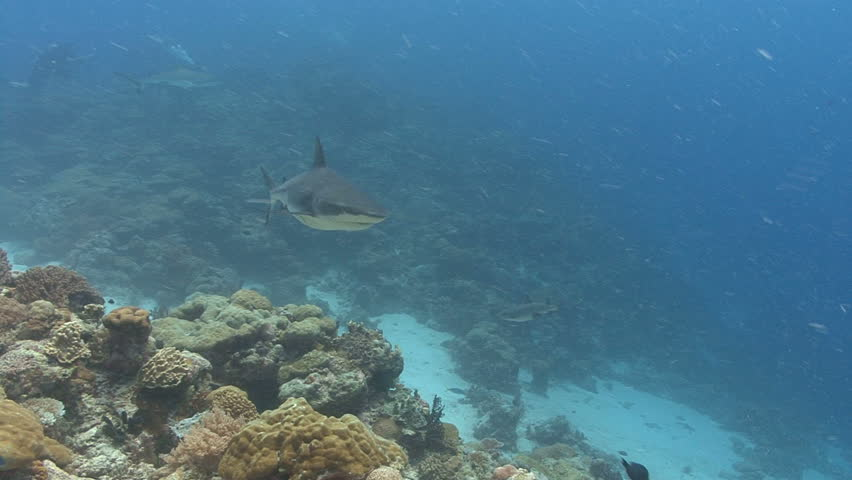 Fast shark swims over viewer and coral reef
