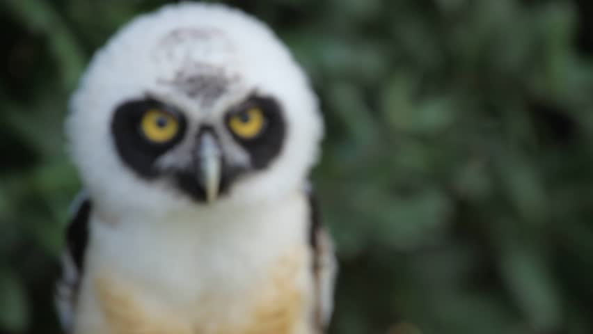 Young Spectacled Owl (Pulsatrix perspicillata)   Shutterstock HD Video #16683889