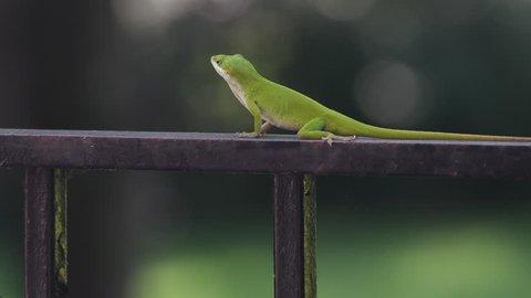 Carolina anole green lizard on an iron railing with a shallow depth of field