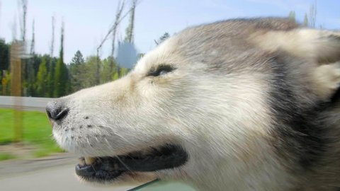Head out the car window, an adorable husky malamute feels the wind in her fur, smiling, happy