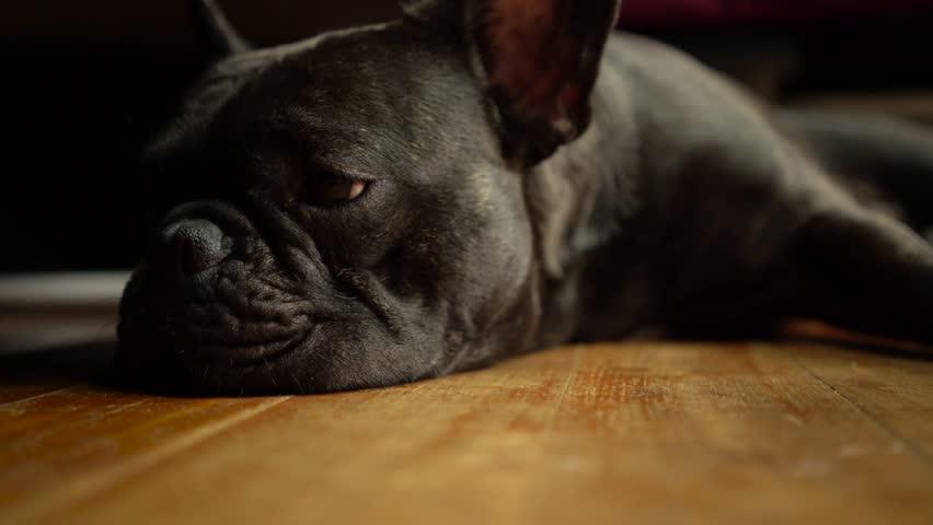 4k Black french bulldog sleeping on the floor. | Shutterstock HD Video #16735891