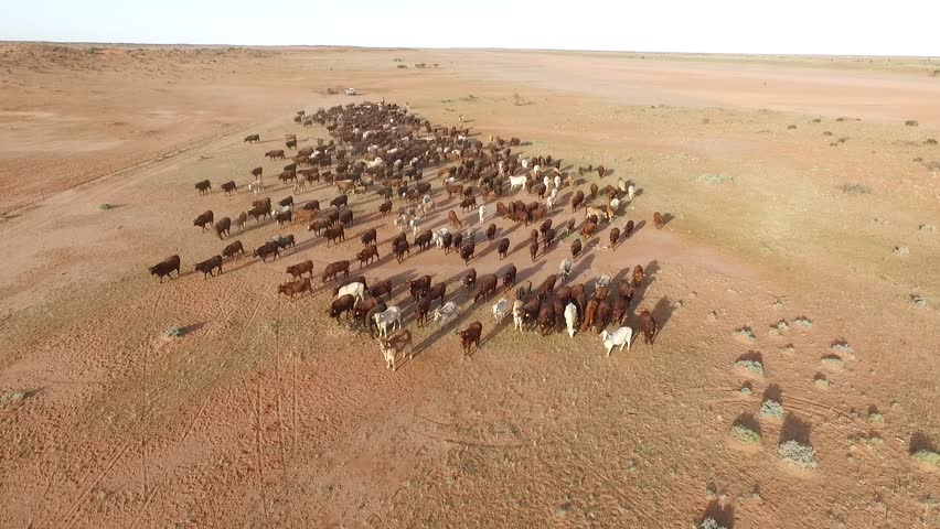 Aerial cattle muster, aerial view in outback Australia, more than 500 cattle  | Shutterstock HD Video #16770976