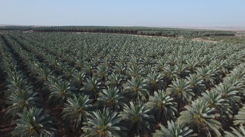 Development of agriculture. Date palms - an oasis in the desert. Aerial shot of the date plantations