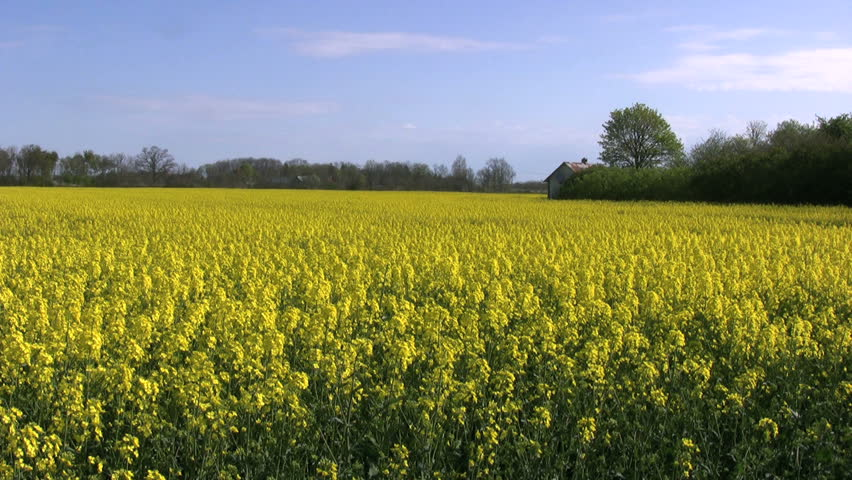 Farmland with rape-flowers panshot to the left