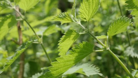 Shallow DOF herb plant wild common nettle natural background slow tilt 4K 2160p 30fps UltraHD footage - Healthy Urtica dioica stinging nettle plant in nature 4K 3840X2160 UHD tilting video