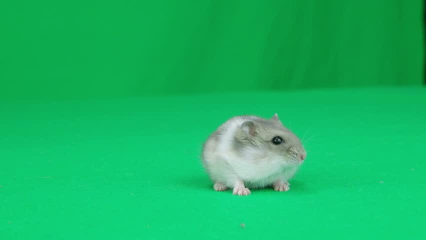 hamster walks on a green screen #16914961