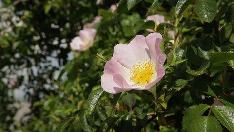 Flowering wild rose. Wild rose flower aka Rosa acicularis or prickly wild rose or prickly rose or bristly rose or Rosa canina flower - Stock Video