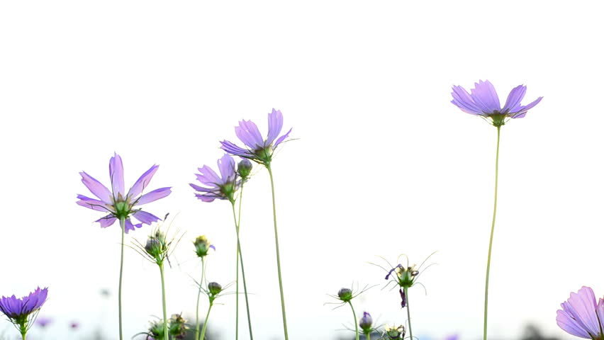 Purple Flowers Backlit By The Stock Footage Video 100 Royalty Free 1697401 Shutterstock