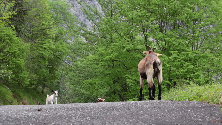 Mountain goat mother and kid running milking on road Asturias Northern Spain