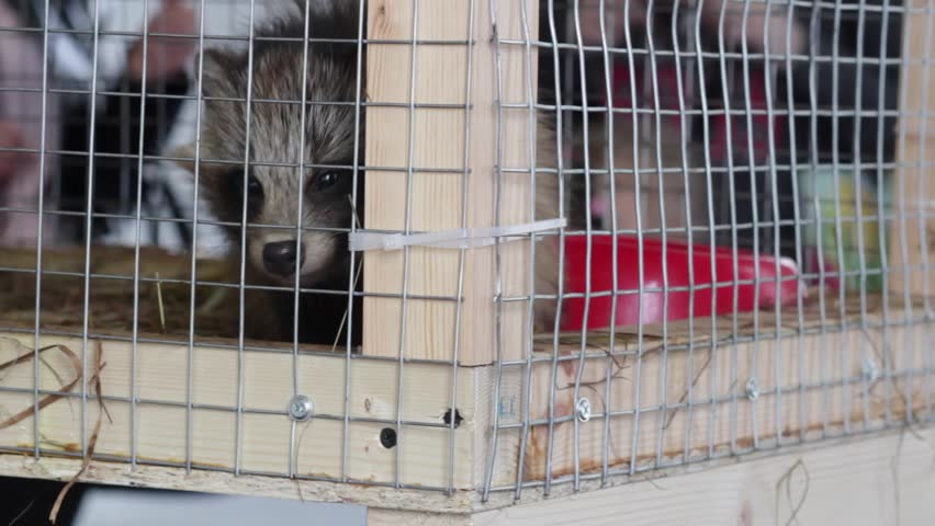 Raccoons in a cage - animals in cage | Shutterstock HD Video #17120731