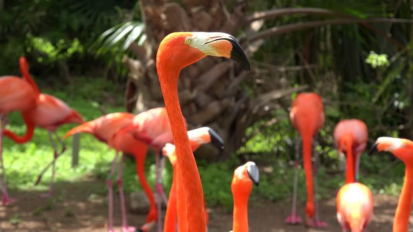 Caribbean flamingo (Phoenicopterus Ruber).
