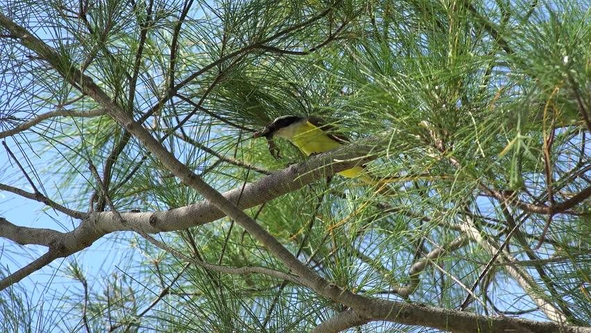 Great kiskadee bird (Pitangus sulphuratus) eats big lizard. Bermuda