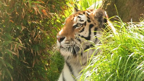 Amur TIGER close up, relaxing in undergrowth. Amur tiger, (Pantehra Tigris), yawns & relaxes before standing.