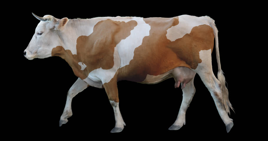 Red white cow walking on a transparent background. Cyclic animation contains an alpha channel. Can also use as a silhouette.