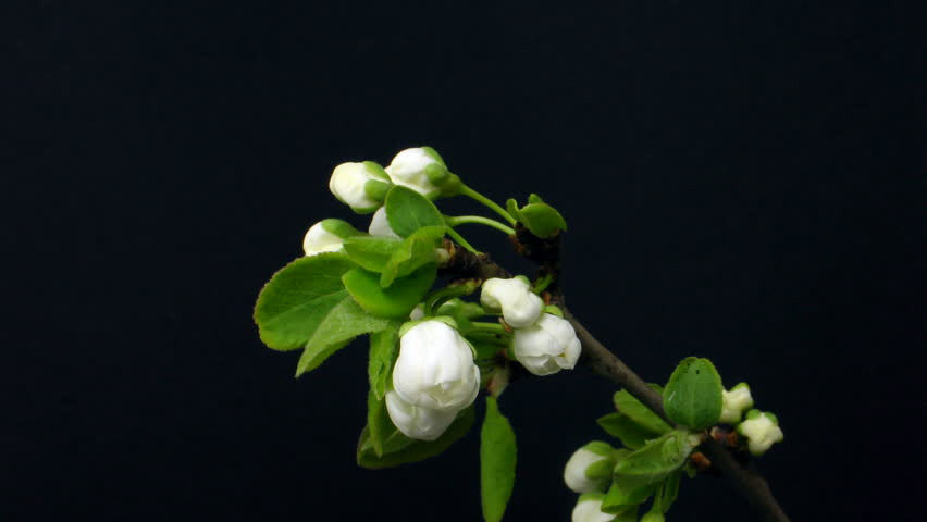 Time-lapse of blooming plum branch 1