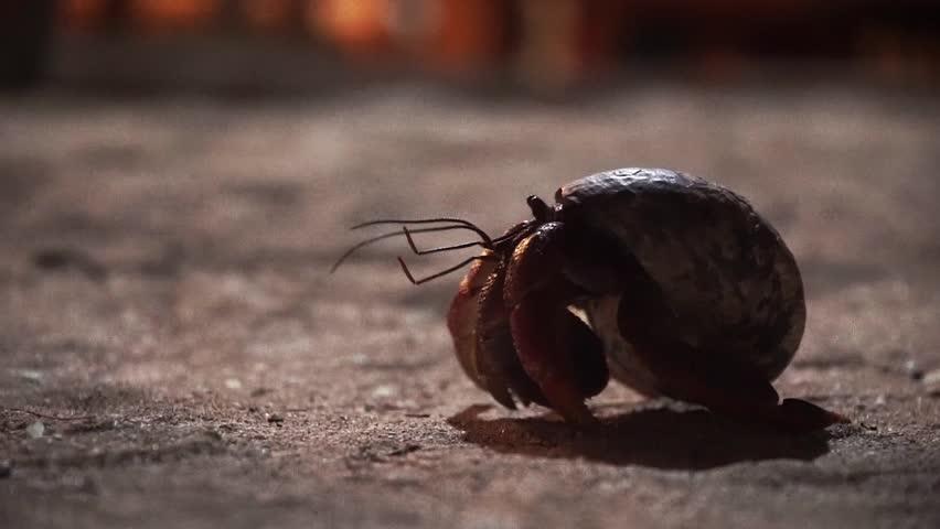 Header of hermit crab