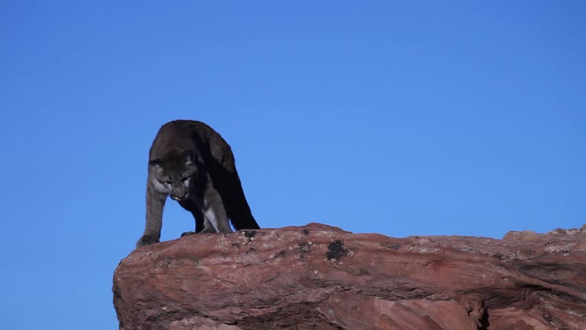 Young cougar prowling on top of a red sandstone outcrop and jumping from one ledge to another in Southern Utah