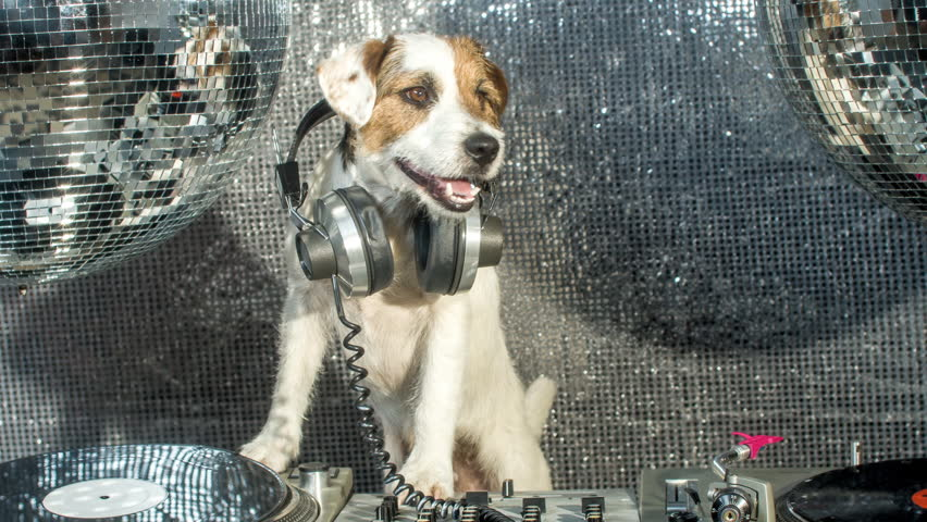 Dj dog is in the house! an adorable jack russell dog in a club and disco situation | Shutterstock HD Video #17565511