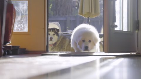 Cute Fluffy white Great Pyrenees puppy dog hops through back door into a house and curiously approaches the camera