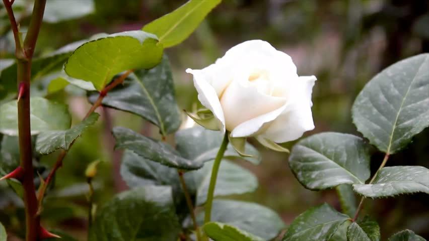 White Rose Tree Big White Stock Footage Video 100 Royalty Free