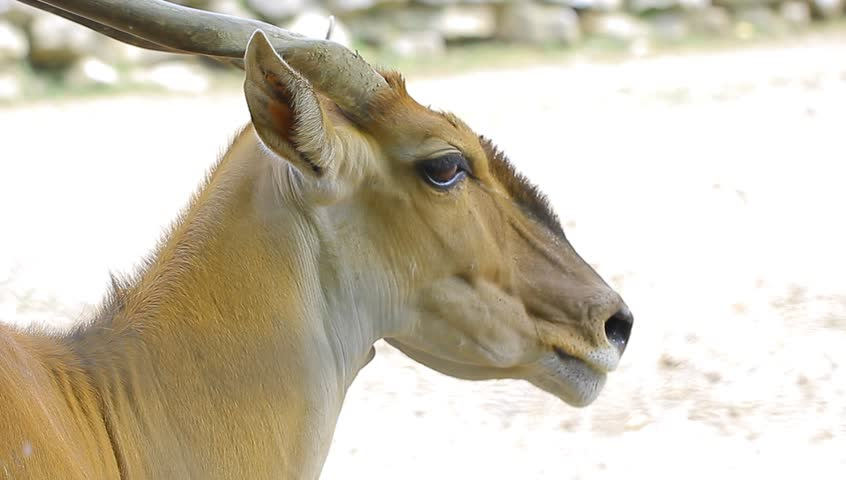 Eland  Taurotragus Oryx  South Africa