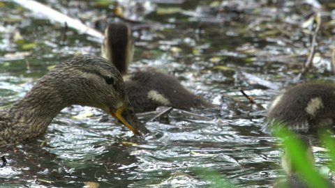 Mallards Family Swimming In Water, Duck With Ducklings
