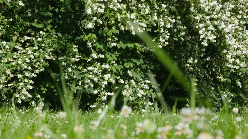 Beautiful jasmine white flowers, summer day. Flowers in the wind