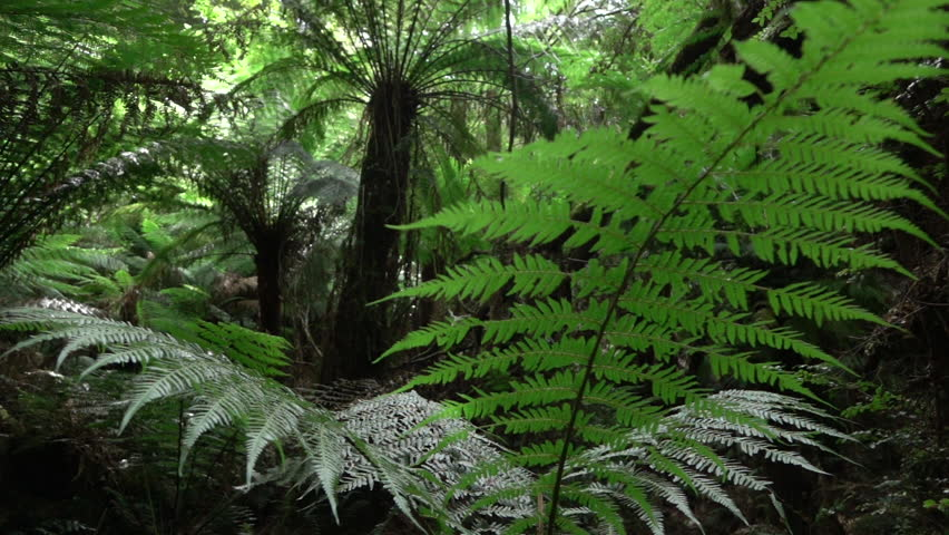 SLOW MOTION CLOSE UP, DOF: Big old lush fern growing in overgrown lush wild jungle. Sun shining through dense green weeds. Large ancient fairytale fern growing in primeval untouched rainforest