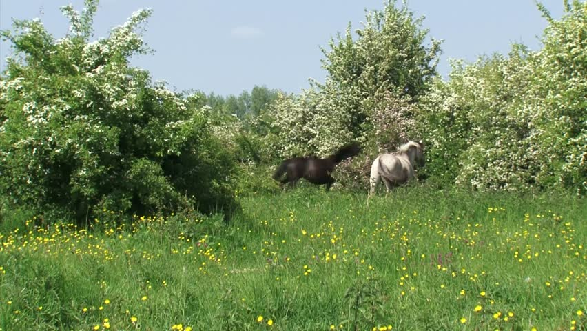 Konik horse, herd running in hawthorn landscape. Semi-wild herds of konik can be seen today in many nature reserves such as the BLAUWE KAMER, THE NETHERLANDS.