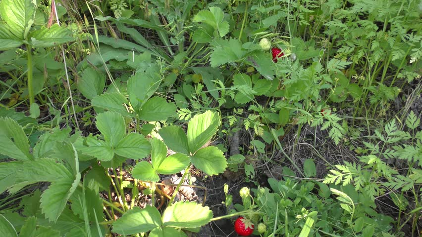 female woman gather pick up ripe red strawberry. Harvesting  #17818165