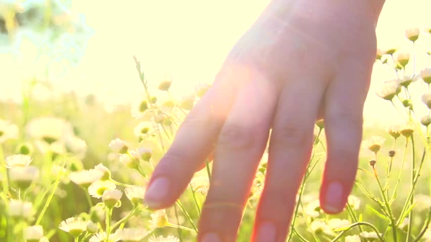 Young woman hand running through wild meadow field. Female hand touching wild flowers closeup. Summertime concept. Enjoying nature. Slow motion video footage 240 fps. Full HD 1080p | Shutterstock HD Video #17832454