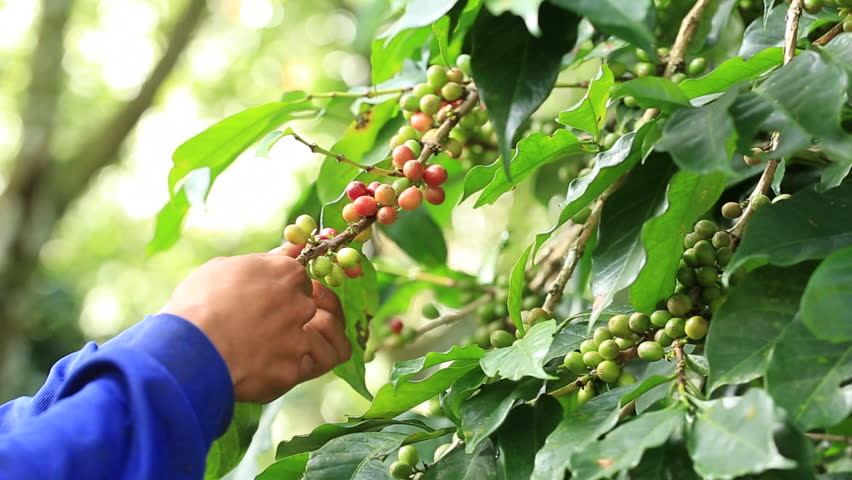 Farmer harvesting ripe organic cherries coffee beans are either harvested by hand, stripped from the tree with both unripe and overripe