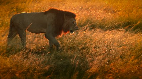 Male lion walking in the morning sunshine in Africa (2 Different Shots)