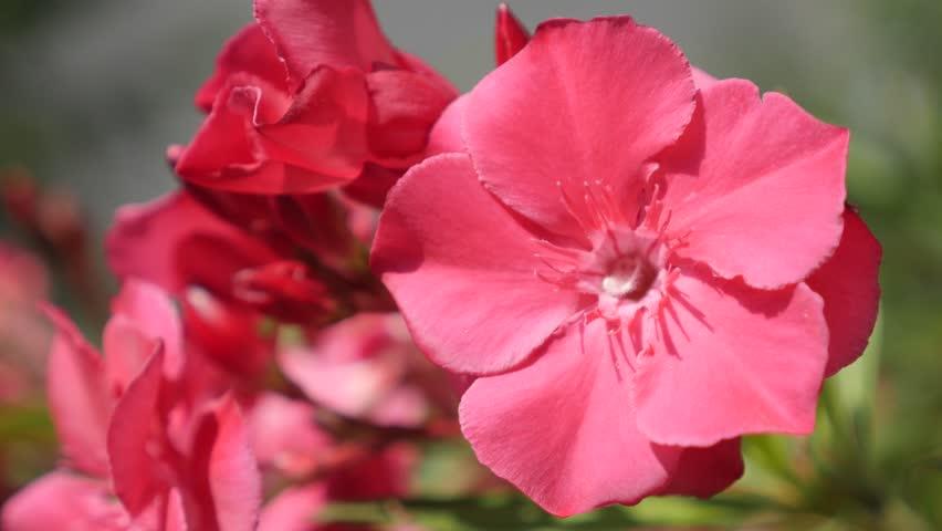Beautiful Nerium Oleander Pink Flower Stock Footage Video 100