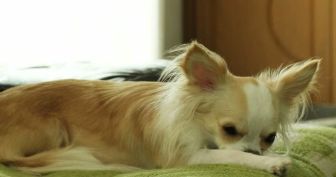 a chihuahua or chiwawa dog looking at camera and laying on green sofa in the living room.