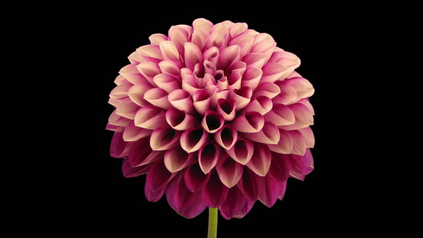 Time-lapse of opening red dahlia flower 9x3 in RGB + ALPHA matte format isolated on black background