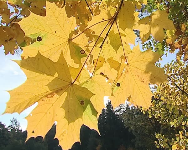 Closeup of autumn mapple tree branch with yellow color leaves moving in wind and sunlight penetrate through them.