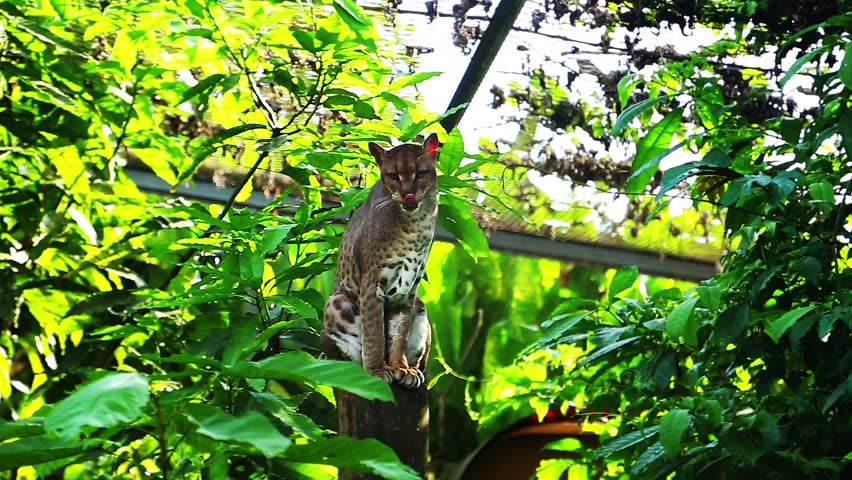 Header of African golden cat