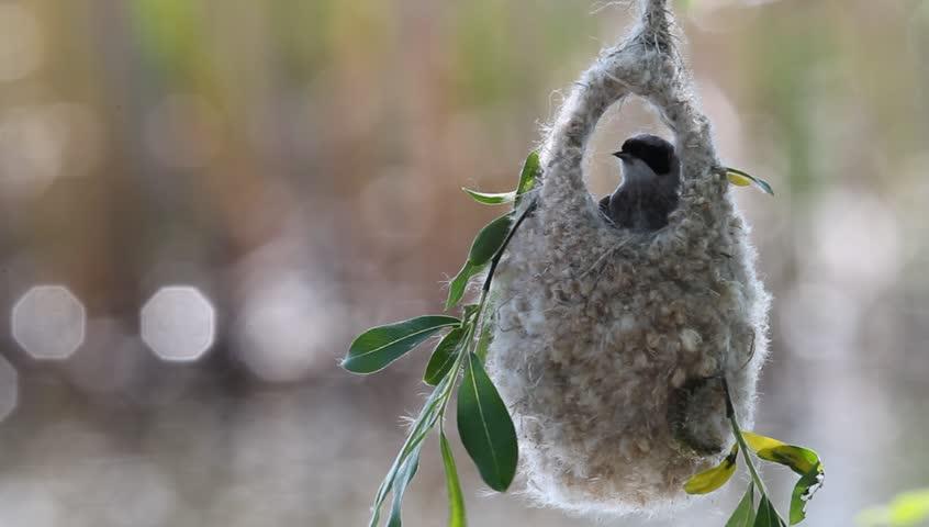 Eurasian penduline tit  (Remiz pendulinus) builds a nest