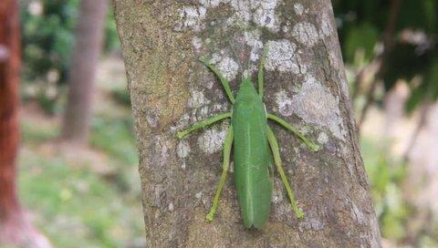 A female Common True Katydid (Pterophylla camellifolia) on tree
