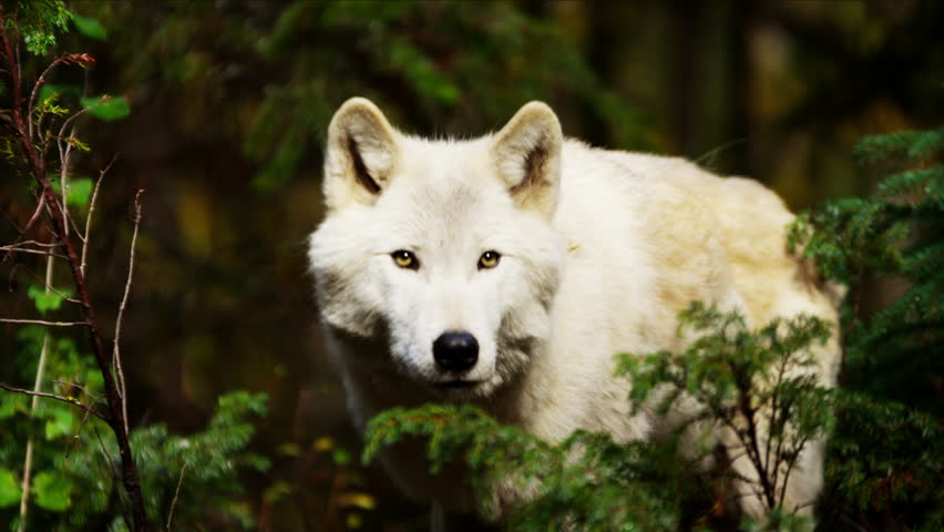 Wild grey wolf scavenging for food outdoor on National Reserve | Shutterstock HD Video #18152257