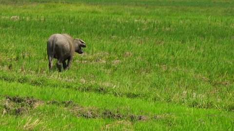 buffaloes eating grass in a field.