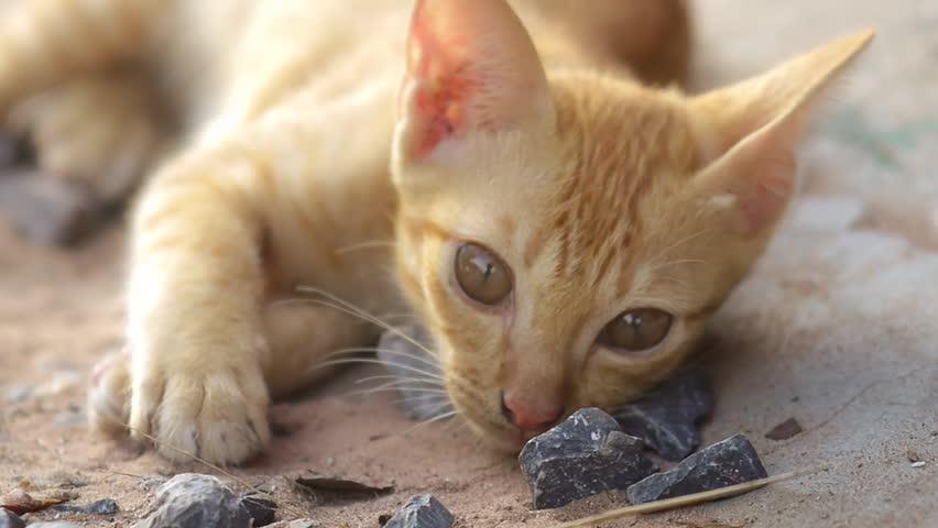 Cute Kittens. thai cat | Shutterstock HD Video #18163471