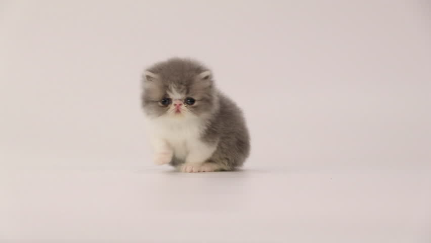 Blue and white persian kitten cat slowly walk on tiptoe and crouch, turn away and lift its head.