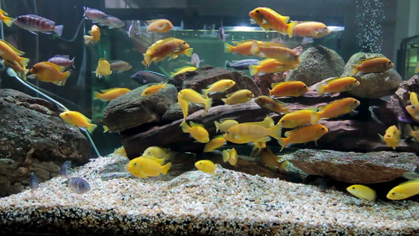 Colorful Aquarium Fish Clean Environment Stock Footage Video 100 Royalty Free 18238741 Shutterstock