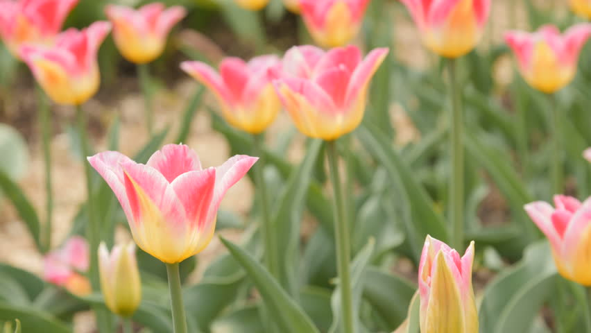 Field of blooming different color tulips - slider dolly shot, closeup. 4K - 4K stock video clip