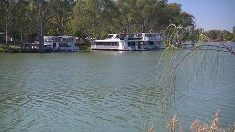 Wide shot of the river Murray at Mildura in Victoria, Australia with river reeds and swans on the water swimming past.