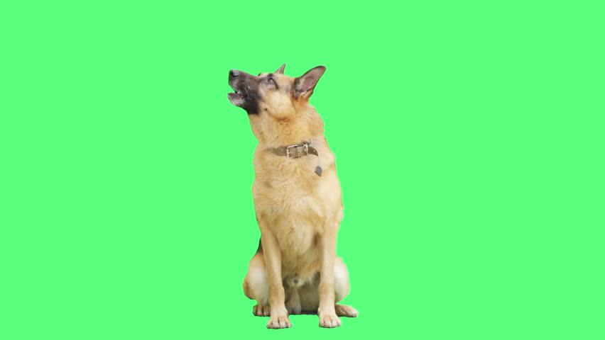 German Shepherd sitting on a green screen #18304381