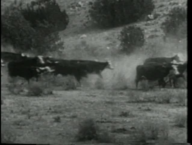 Wide shot cattle stampede